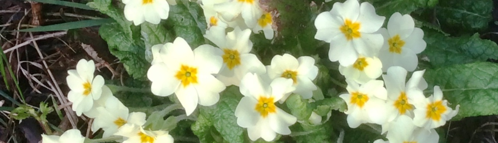 Primroses - St Peter's Church
